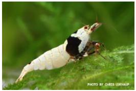 TGISC Bewertungsklassen - Gruppe 10 - aqua-expo-tage - Black Bee Grade SSS